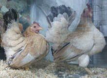 معرض دجاج الزينة والطيور Rafat khater