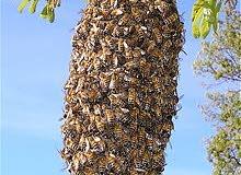 هل ترغب في إزالة النحل الذي يقطن بيتك؟