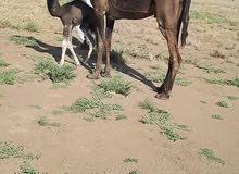 ناقة للبيع الموقع السودان يوجد توصيل للكفرة