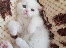 Pure white scottish fold kitten