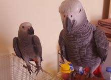 African gray baby 4 month