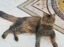 قطه لونج فيس