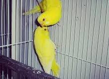 مطلوب طيور حب صفرعيون حمر