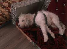 كلب مالتيز ذكر,اليف,سريع الفهم