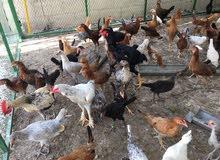 طيور دجاج الزينة