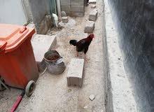 ديج ودجاجة هنديات للبيع