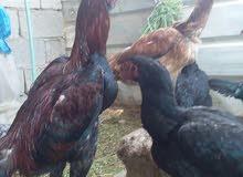 بيض دجاج هندي ملقح ومجرب الديج ابو لحيه