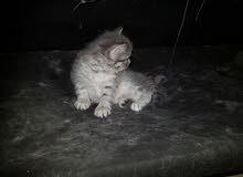 قطط شيرازي للبيع بدافع السفر