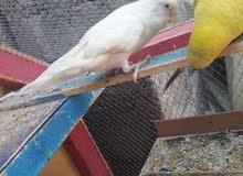 طيور حب عادي وهولندي