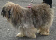 كلب زينة للبيع