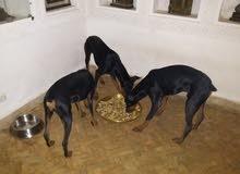 العرض الأخير: كلاب الدوبرمان / ألماني أصيل 100٪ للبيع / ذكر وأنثى