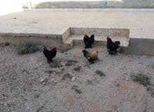 ديوك باندا للبيع او استبدال بدجاج