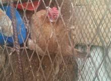 ديك ودجاج مع القفص