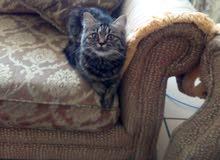 قطة شيرازي امريكي 8 شهور مطعمة