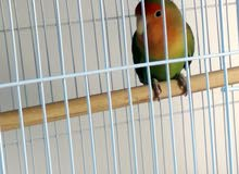 Male lovebird by DNA test doesnt bite ذكر لوڤبيرد هادي لا يعض معرف بتحليل DNA