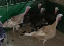 دجاج رومي بيور