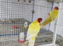للبيع طيور الروزلا
