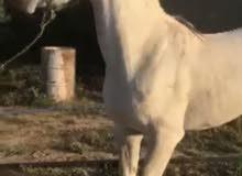 حصان فرنسي بلدي