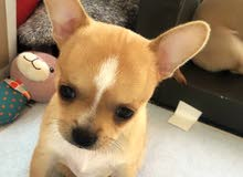 pure chihuahua male puppy