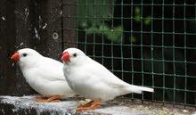 طيور الجنة2ذكر وأنثى مع قفص 200درهم