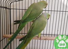 Budgerigar Parrot Male and Female FOR PAIR زوج درة ذكر وانثا