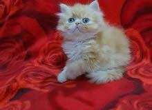 قطط هاف بيكي للبيع
