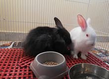 cute lil poland bunnies(with large cage, littertray, foodcontainer, waterbottle)