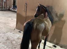 حصان فحل عربي اصيل واهو