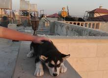 كلب هسكي عمر شهرين