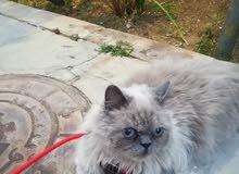 قط شيرازي سيامي