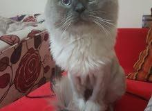 قط مكس هيملايا