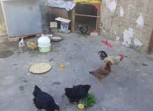 مطلوب دجاج عرب بياض