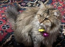 قطه شانشيلا