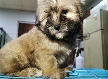 جروه هافنييز جاهزه للتسليم الفوري Havanese female puppy