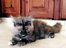 قطه مميزة للبيع
