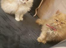 للبيع قطه شيرازيه قطه مجانا كميه محدوده السعر(2000)فقط