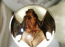 عصا بقبضه حيوان الخفاش حقيقي محنط