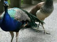 طواويس للبيع طاووس