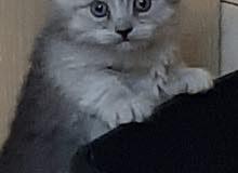 قطط شيرازي صغيرة للبيع