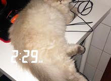 cat for Sale / قطه للبيع