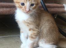 Sweet little Kitten( 6 weeks old )