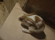 ارنب للبيع عمر شهرين