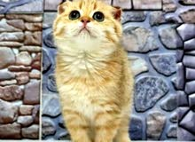 4000-20000dhs per kitten scottish and maine coons
