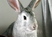 rabbit for sale age 7 months old Female. Breed is Local