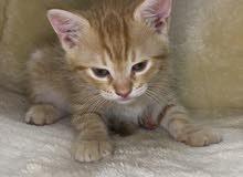 قطط شيرازية العمر 45 يوم