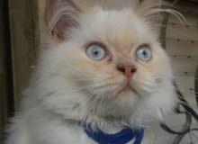 قطة هملايا مكس عاجل.....