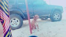 كلبه بيتبول للبيع او التبديل