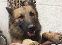 كلب جرمن اصل