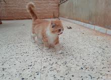 قطوس النوع شيرازي أنثى العمر سنه وشهرين بأعلى سعر