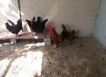 بيع دجاج هولندي